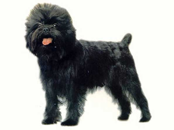 Affenpinscher Photo Picture Of Affenpinscher Dogs