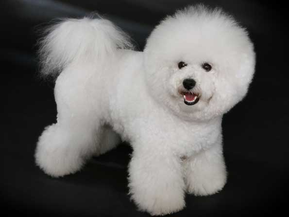 Bichon Frise Photo Picture Of Bichon Frise Dogs