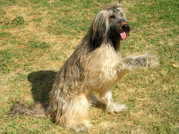 Briard Photo Picture Of Briard Dogs