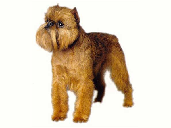 Brussels Griffon Photo: Picture of Brussels Griffon dogs