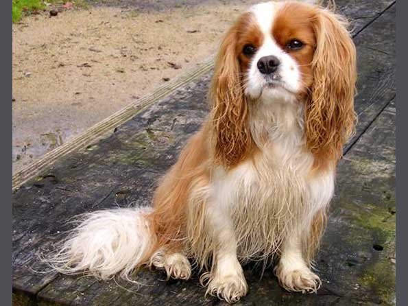 Cavalier king charles spaniel photo picture of cavalier king cavalier king charles spaniel thecheapjerseys Images