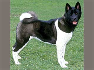 Pics Photos - Akitas Akc Black And White