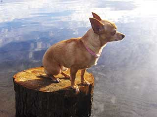 Chihuahua Information and Facts - Dog Breeds