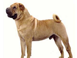 Chinese Shar Pei Information And Facts Dog Breeds