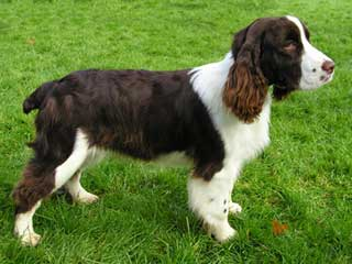 English Springer Spaniel Information and Facts - Dog Breeds