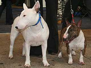 Miniature Bull Terrier