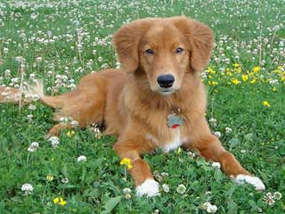 Nova Scotia Duck Tolling Retriever Information And Facts Dog Breeds