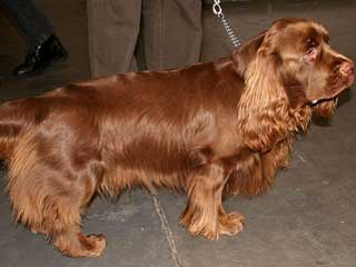 Sussex Spaniel Apartment Boxer Information and ...