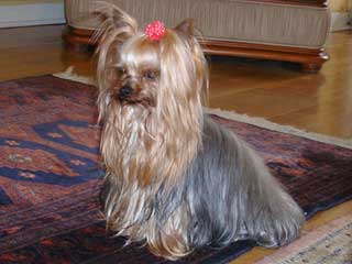 Large yorkshire terrier information
