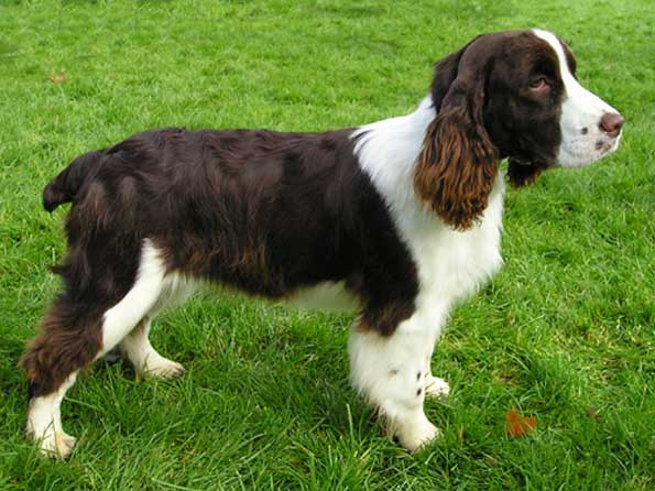 ... Springer Spaniel Photo: Picture of English Springer Spaniel dogs