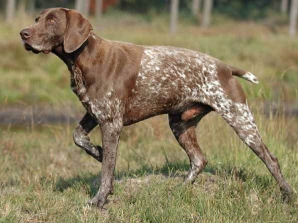 German Shorthaired Pointer Photo: Picture of German Shorthaired ...