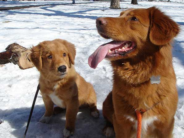 nova scotia duck tolling retriever photo picture of nova