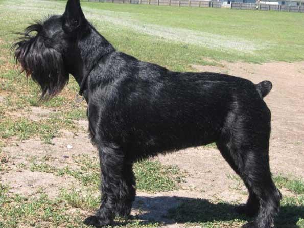 Standard Schnauzer Photo Picture Of Standard Schnauzer Dogs