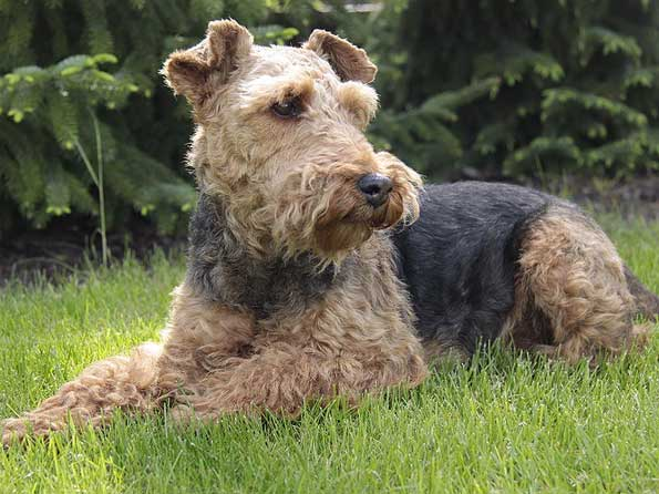 Welsh Terrier Photo Picture Of Welsh Terrier Dogs