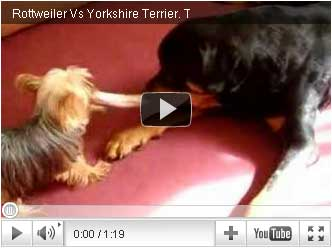 Rottweiler Vs Yorkshire Terrier